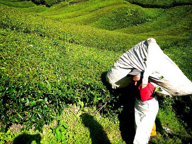 Зеленый чай: полезные свойства