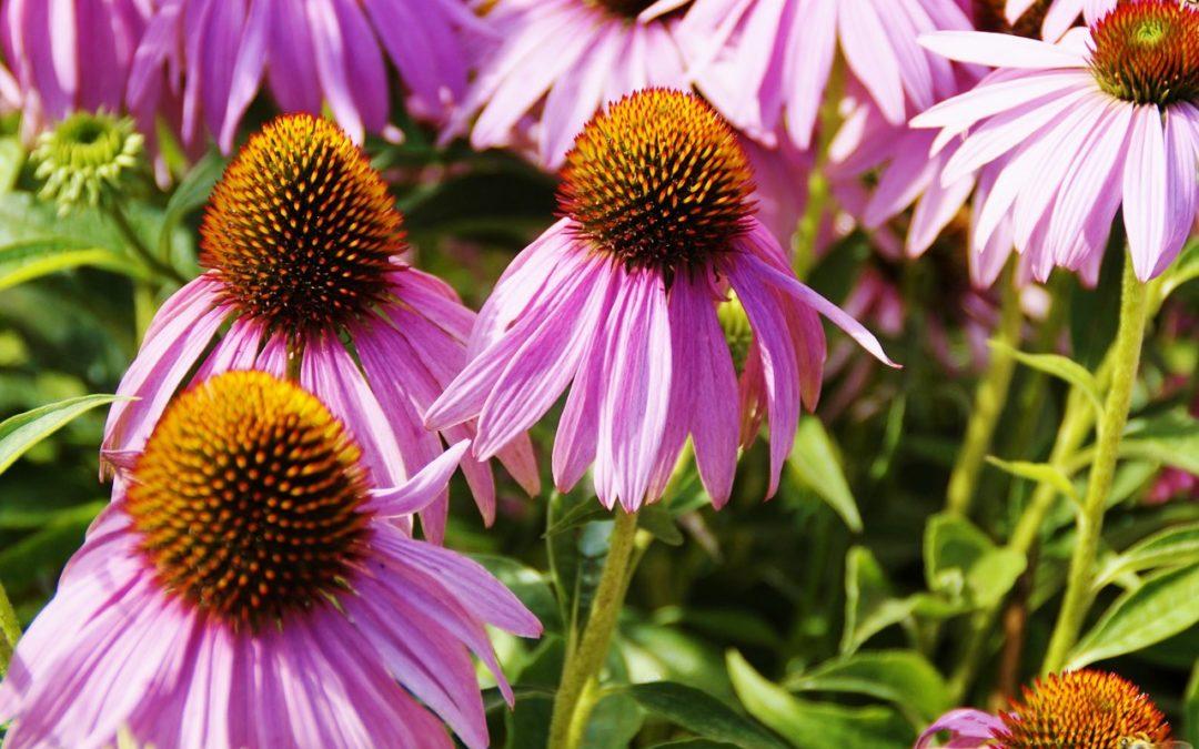 Эхинацея пурпурная. 7 полезных лекарственных свойств