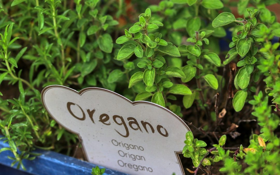 Орегано: трава, которая действительно лечит